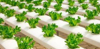 Best Ways On How To Grow Lettuce Indoors At Home: DIY