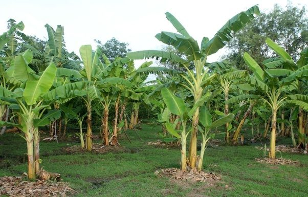How To Grow A Banana Tree From Seed - Beginners