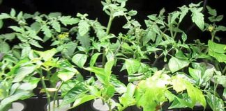 Cloning Plants At Home Easily- How To Clone Plants